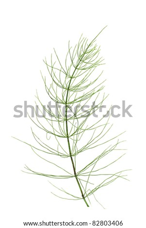 Branch of horsetail on white background