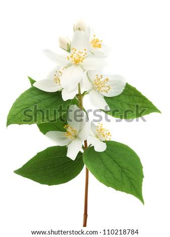 Branch of jasmine