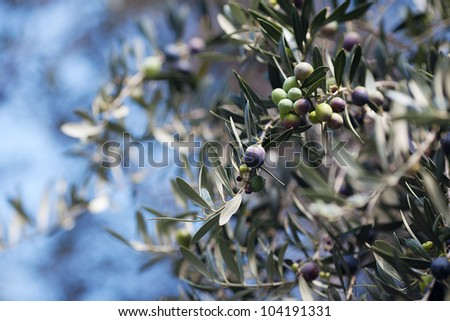 branch of juicy green olives