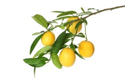 Branch of  juicy small lemons  with leaves isolated on white background