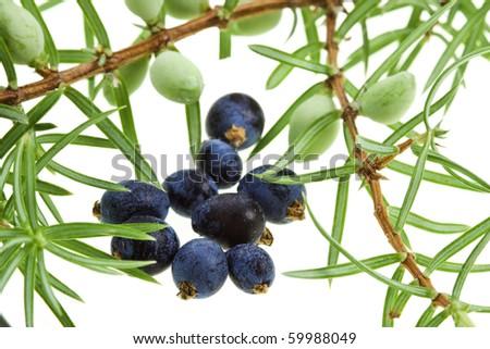 Branch of juniper juniperus with berries  ( juniperus communis) close up macro shot  isolated on white
