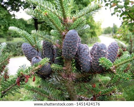 branch of korean fir with cones, Abies koreana #1451424176