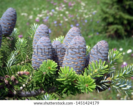 branch of korean fir with cones, Abies koreana #1451424179