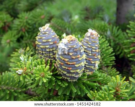 branch of korean fir with cones, Abies koreana #1451424182