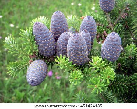 branch of korean fir with cones, Abies koreana #1451424185