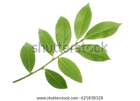 branch of laurel  isolated #621838328