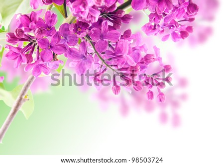 branch of lilac #98503724