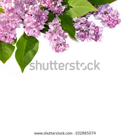 Branch of lilac blossoms on a white background.