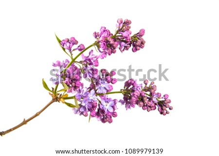 Branch of lilac bush with green foliage on isolated white background #1089979139