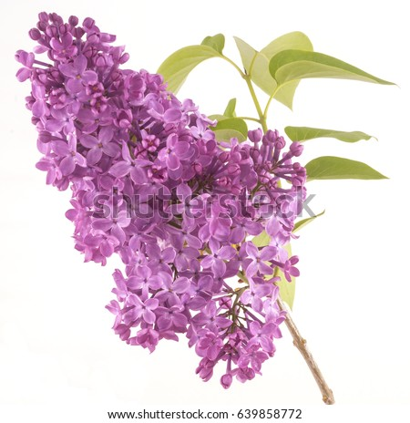Branch of lilac bush with purple flowers white isolated background branch of lilac bush with purple flowers white isolated background mightylinksfo