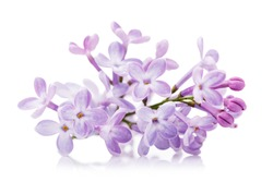 Branch of lilac close-up isolated on white background