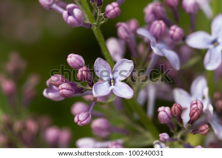 Branch of lilac flowers in the early spring
