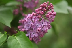 Branch of lilac flowers with green leaves. Big lilac branch bloom. Bright blooms of spring lilacs bush.Bouquet of purple flowers.Spring blue lilac flowers close-up on blurred background.