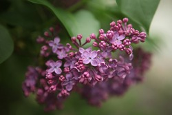 Branch of lilac flowers with green leaves. Big lilac branch bloom. Bright blooms of spring lilacs bush.Bouquet of purple flowers.Spring blue lilac flowers close-up on blurred background 3