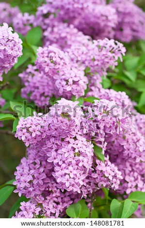 Branch of lilac flowers with the leaves