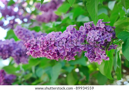 Branch of lilac flowers with the leaves, shallow depth of field