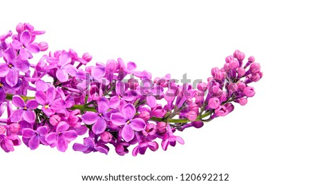 branch of lilac. It is isolated.  On a white background
