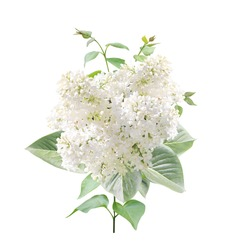 Branch of Lilac with white flowers and leaves. Twig of Common Lilac (Syringa vulgaris, Florent Stepman). Isolated of white background