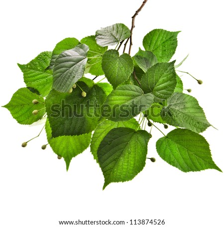 Branch of  linden tree with wet green leaves isolated on white background