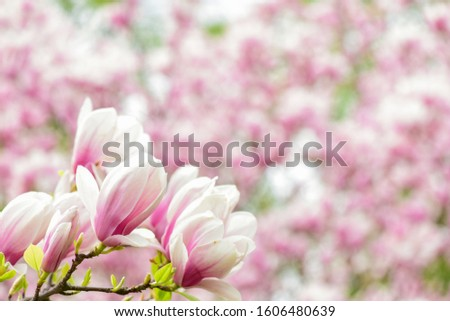 Branch of magnolia. Magnolia flowers. Magnolia flowers background close up. Floral backdrop. Botanical garden concept. Tender bloom. Aroma and fragrance. Spring season. Botany and gardening.