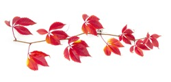 Branch of maiden grapes, known as Virginia creeper or five-leaved ivy with autumn deep red to burgundy leaves on white background