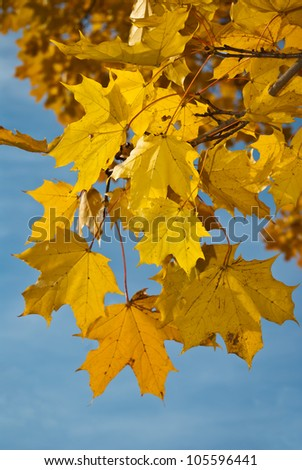 Branch of maple with yellow leaves against blue sky