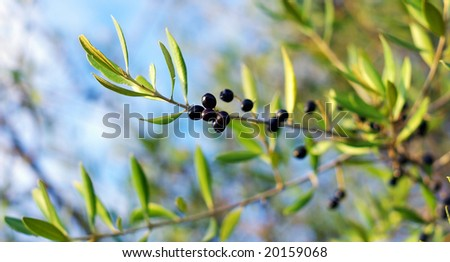 Branch of mature olives.