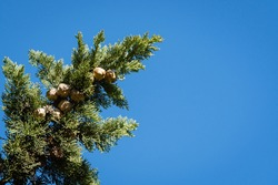 Branch of Mediterranean cypress tree with round brown cones on blurred green background. Selective focus. Close-up. Cupressus sempervirens, Italian cypress or pencil pine in parks of resort of Sochi