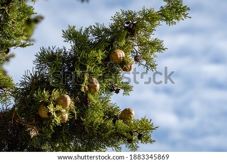 Branch of Mediterranean cypress with round brown cones seeds against blurred green background. Cupressus sempervirens, Italian cypress or pencil pine in Sochi city park Soft selective focus ストックフォト ©