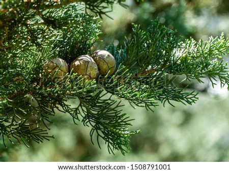 Branch of Mediterranean cypress with round cones seeds against sun on blurred spring green bokeh. Cupressus sempervirens, Italian cypress or pencil pine in city of Tuapse. Soft selective focus ストックフォト ©