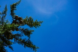 Branch of Mediterranean cypress with round cones with seeds against blue cloudless sky. Selective focus. Cupressus sempervirens, italian cypress or pencil pine in Tuapse. Nature concept for design.