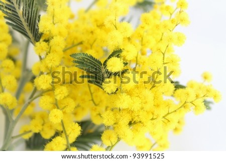 branch of mimosa