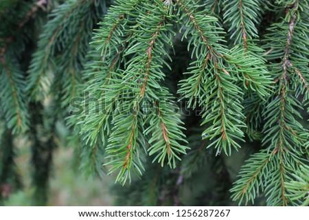 Branch of Norway spruce (Picea abies) on Golija Mt in Serbia