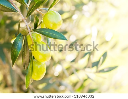 Branch of olives on the tree - stock photo