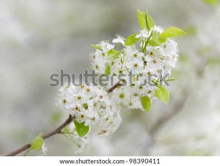 Branch of pear tree blossoms in Spring