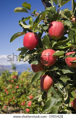 branch of perfect red apples against blue sky - stock photo