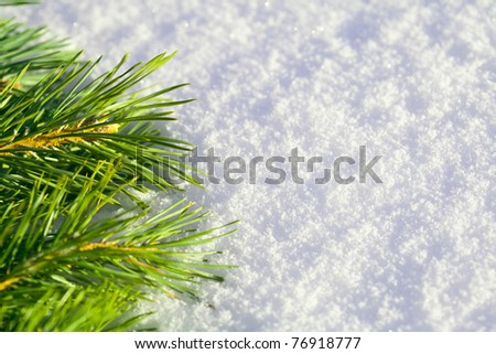 Branch of pine needles lying on snow, close-up
