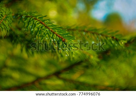 branch of pine with dew, pine branch  #774996076