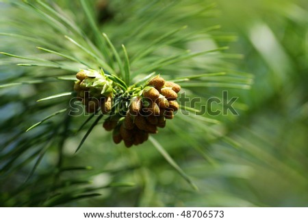 branch of pinetree