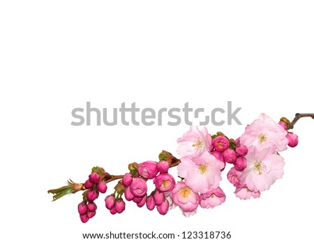 Branch of pink cherry- flowers isolated on white.