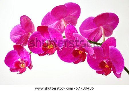 Branch of pink orchid on white background