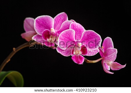 branch of pink orchids on a...