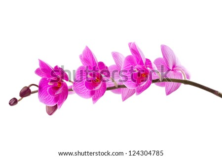 branch of pink orchids on white background