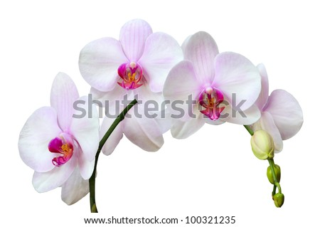 Branch of pink spotted orchids isolated on white