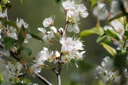 Branch of Prunus americana or American plum with white flowers