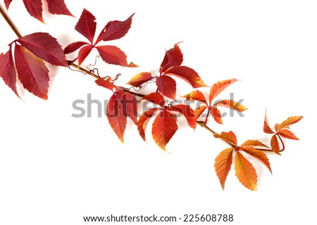 Branch of red autumn grapes leaves. Parthenocissus quinquefolia foliage. Isolated on white background. #225608788