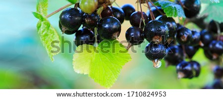 Branch of ripe blackcurrant berries hanging on the bush in a garden. Close-up. Selective focus on berries. Foto stock ©