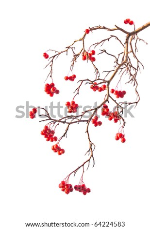 Branch of rowanberry with berry on white background in the style of Chinese painting