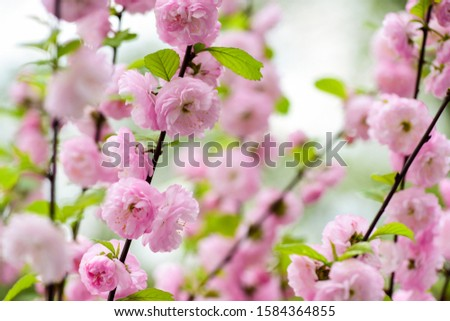 Branch of sakura. Perfumery concept. Sakura flowers. Sakura flowers on background close up. Floral backdrop. Botanical garden concept. Tender bloom. Aroma and fragrance. Spring season. Tenderness.