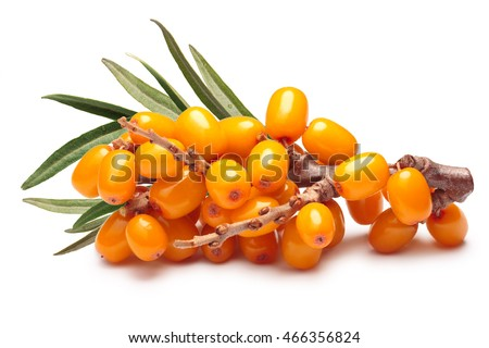 Branch of sea buckthorn berries with leaves. Clipping paths, shadow separated, infinite depth of field. Design elements #466356824